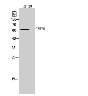 Fig. Western Blot analysis of HT-29 cells using GPR75 Polyclonal Antibody.