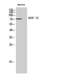 Fig. Western Blot analysis of Mouse cells using AKAP 10 Polyclonal Antibody.