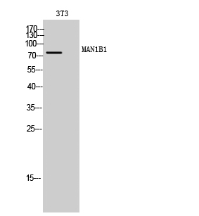 Fig. Western Blot analysis of 3T3 cells using MAN1B1 Polyclonal Antibody.