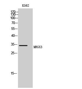 Fig. Western Blot analysis of K562 cells using MRGX3 Polyclonal Antibody.