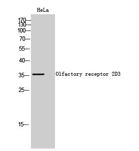 Fig. Western Blot analysis of HeLa cells using Olfactory receptor 2D3 Polyclonal Antibody.
