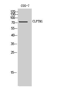 Fig. Western Blot analysis of COS-7 cells using CLPTM1 Polyclonal Antibody.