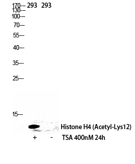 Fig.2. Western Blot analysis of 293 cells using Acetyl-Histone H4 (K12) Polyclonal Antibody diluted at 1:500. Secondary antibody (catalog#: A21020) was diluted at 1:20000.