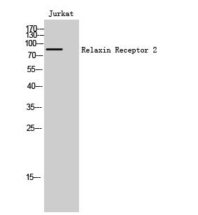 Fig. Western Blot analysis of Jurkat cells using Relaxin Receptor 2 Polyclonal Antibody.