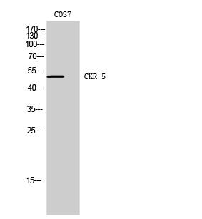 Fig. Western Blot analysis of COS7 cells using CKR-5 Polyclonal Antibody.