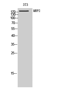 Fig. Western Blot analysis of 3T3 cells using MRP2 Polyclonal Antibody diluted at 1:1000.