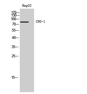 Fig. Western Blot analysis of HepG2 cells using CNG-1 Polyclonal Antibody.