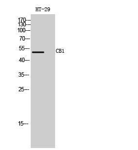 Fig. Western Blot analysis of HT-29 cells using CB1 Polyclonal Antibody.