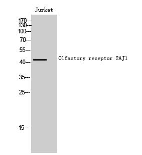Fig. Western Blot analysis of Jurkat cells using Olfactory receptor 2AJ1 Polyclonal Antibody.