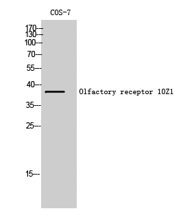 Fig. Western Blot analysis of COS-7 cells using Olfactory receptor 10Z1 Polyclonal Antibody.