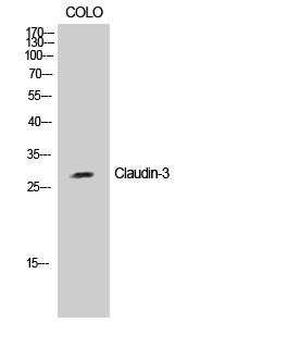 Fig.1. Western Blot analysis of COLO cells using Claudin-3 Polyclonal Antibody diluted at 1:2000.