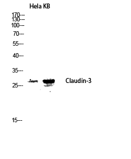 Fig.2. Western blot analysis of Hela KB lysis using Claudin-3 antibody. Antibody was diluted at 1:2000.