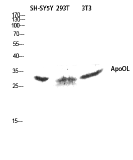 Fig. Western blot analysis of SH-SY5Y 293T 3T3 lysis using ApoOL antibody. Antibody was diluted at 1:1000.