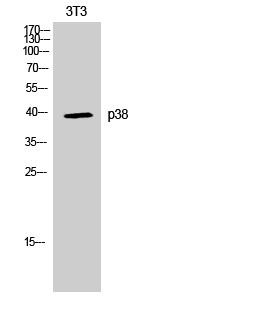 Fig. Western Blot analysis of NIH-3T3 cells using p38 Polyclonal Antibody.