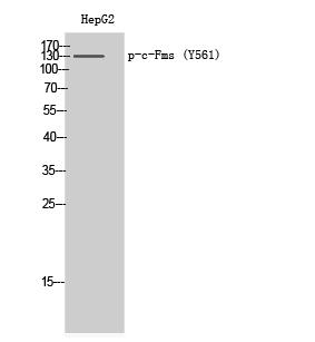 Fig. Western Blot analysis of HepG2 cells using Phospho-c-Fms (Y561) Polyclonal Antibody.