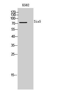 Fig. Western Blot analysis of K562 cells using Six5 Polyclonal Antibody.