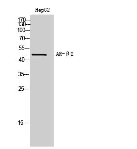 Fig. Western Blot analysis of HepG2 cells using AR-β2 Polyclonal Antibody.