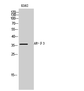 Fig.1. Western Blot analysis of K562 cells using AR-β3 Polyclonal Antibody diluted at 1:1000.