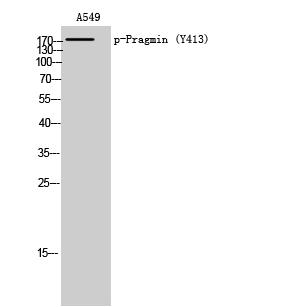 Fig. Western Blot analysis of A549 cells using Phospho-Pragmin (Y413) Polyclonal Antibody.