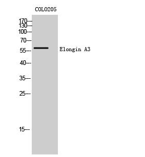 Fig. Western Blot analysis of COLO205 cells using Elongin A3 Polyclonal Antibody.