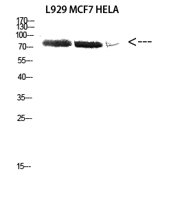 Fig.2. Western Blot analysis of L929 MCF7 HELA cells using Antibody diluted at 1:2000. Secondary antibody (catalog#: A21020) was diluted at 1:20000.