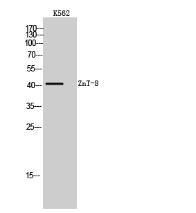 Fig. Western Blot analysis of K562 cells using ZnT-8 Polyclonal Antibody. Secondary antibody (catalog#: A21020) was diluted at 1:20000.