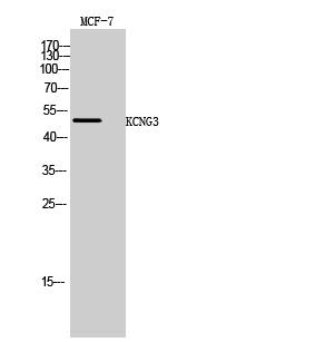 Fig. Western Blot analysis of MCF-7 cells using KCNG3 Polyclonal Antibody.