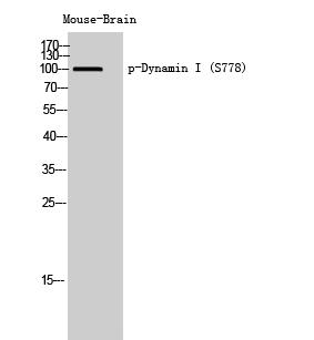 Fig. Western Blot analysis of Mouse-Brain cells using Phospho-Dynamin I (S778) Polyclonal Antibody.