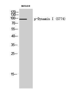 Fig. Western Blot analysis of Mouse cells using Phospho-Dynamin I (S774) Polyclonal Antibody.
