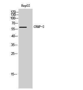 Fig. Western Blot analysis of HepG2 cells using CRMP-2 Polyclonal Antibody.