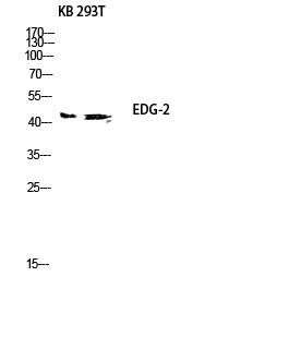 Fig.2. Western blot analysis of KB 293T lysis using EDG-2 antibody. Antibody was diluted at 1:500.