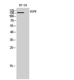 Fig. Western Blot analysis of HT-29 cells using EGFR Polyclonal Antibody.