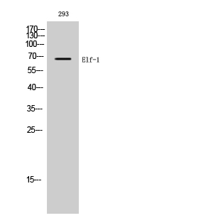 Fig. Western Blot analysis of 293 cells using Elf-1 Polyclonal Antibody diluted at 1:1000.