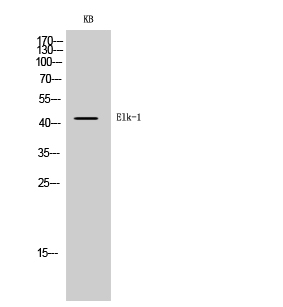 Fig. Western Blot analysis of KB cells using Elk-1 Polyclonal Antibody diluted at 1:500.