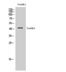 Fig. Western Blot analysis of HuvEc cells using FoxD4L1 Polyclonal Antibody.