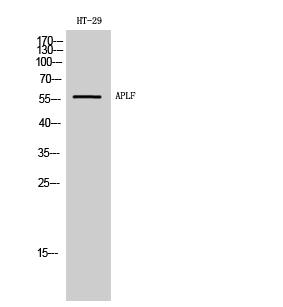 Fig. Western Blot analysis of HT-29 cells using APLF Polyclonal Antibody.