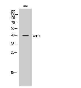 Fig. Western Blot analysis of 3T3 cells using MCT13 Polyclonal Antibody.