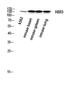 Fig.2. Western Blot analysis of k562 Mouse-heart Mouse-spleen Mouse-lung cells using ErbB-3 Polyclonal Antibody diluted at 1:2000.