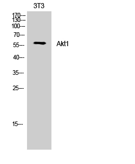 Fig. Western Blot analysis of NIH-3T3 cells using Akt1 Polyclonal Antibody.