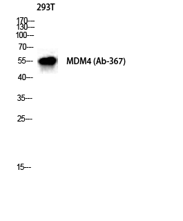 Fig. Western Blot analysis of 293T cells using MDMX Polyclonal Antibody diluted at 1:1000.