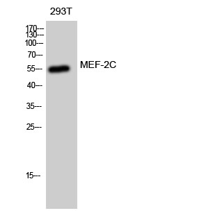 Fig. Western Blot analysis of 293T cells using MEF-2C Polyclonal Antibody diluted at 1:1000.