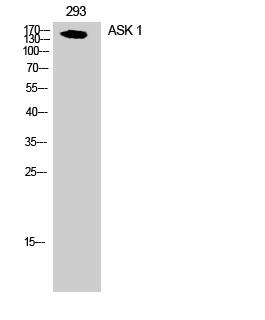 Fig. Western Blot analysis of 293 cells using ASK 1 Polyclonal Antibody.