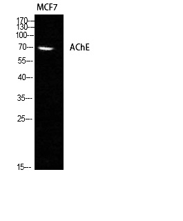 Fig. Western Blot analysis of MCF7 cells using AChE Polyclonal Antibody diluted at 1:1000.