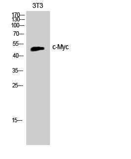 Fig. Western Blot analysis of Jurkat cells using c-Myc Polyclonal Antibody.