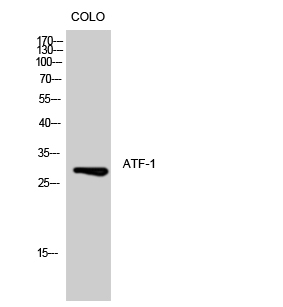 Fig.1. Western Blot analysis of COLO cells using ATF-1 Polyclonal Antibody diluted at 1:500.