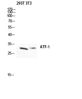 Fig.2. Western blot analysis of 293T 3T3 lysis using ATF-1 antibody. Antibody was diluted at 1:500.