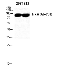Fig. Western Blot analysis of 293T NIH-3T3 cells using Trk A Polyclonal Antibody diluted at 1:2000. Secondary antibody was diluted at 1:20000.