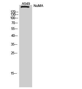 Fig. Western Blot analysis of A549 cells using NuMA Polyclonal Antibody diluted at 1:2000.