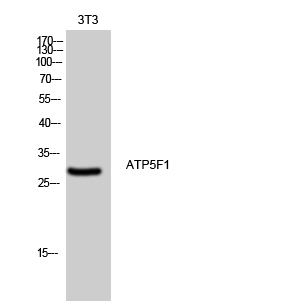 Fig. Western Blot analysis of 3T3 cells using ATP5F1 Polyclonal Antibody diluted at 1:500.