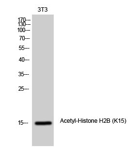 Fig. Western Blot analysis of 3T3 cells using Acetyl-Histone H2B (K15) Polyclonal Antibody diluted at 1:1000. Secondary antibody was diluted at 1:20000.